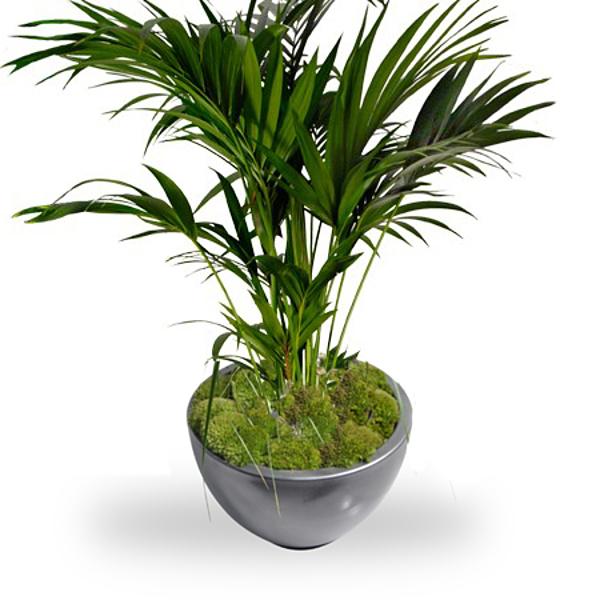 Kentia palm with pot