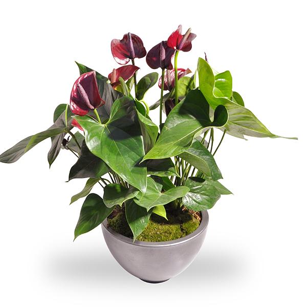 Anthurium rood met pot